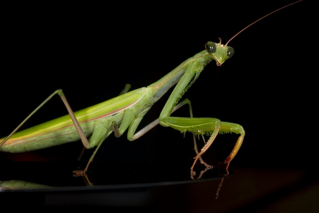 European-Praying-Mantis.jpg