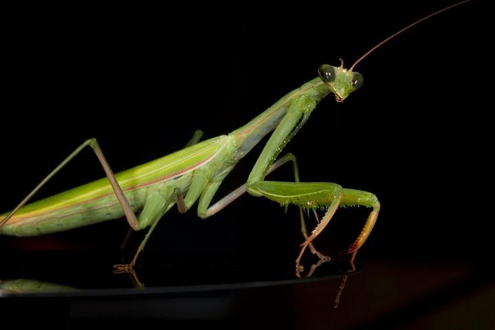 European-Praying-Mantis.jpg